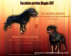 Vendesi cuccioli di Rottweiler